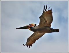 Brown Bomber (tdlucas5000) Tags: bird inflight wing pelican crystalcove tips hdr brownpelican flyover wingtip