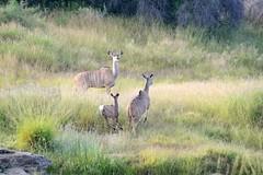 Running Away (zenseas : )) Tags: africa morning wild young running namibia runningaway kudu greaterkudu tragelaphusstrepsiceros naankus beautifulandwild naankuslodge httpwwwnaankusecom naankussanctuary