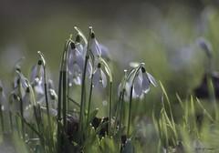Perce-neige (jpto_55) Tags: france flower fleur fuji bokeh fujifilm hautegaronne midipyrnes xe1 perceneige omlens om135mmf28