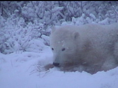 Polar Bear in the Snow