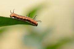 At the end of the leaf (Rene Mensen) Tags: leaf caterpillar noorderdierenpark vlindertuin