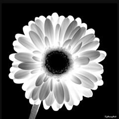 Gerbera in backlight (b/w) (HansHolt) Tags: white flower macro backlight gerbera wit tegenlicht bloem canonef100mmf28macrousm canoneos6d