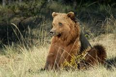 Summer Grizzly Bear at Braeburn, Yukon. (Cameron Eckert) Tags: conservation wilderness carnivore boreal grizzlybear northerncanada focalspecies