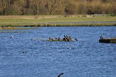 Old Moor (160) (rs1979) Tags: bird birds cormorants lapwing cormorant barnsley rotherham rspb wombwell lapwings oldmoor oldmoorwetlandcentre oldmoornaturereserve familyhide lowvalley