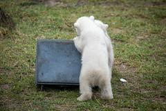 2015-02-26-11h31m58.BL7R3917 (A.J. Haverkamp) Tags: zoo thenetherlands polarbear ijsbeer rhenen dierentuin ouwehandsdierenparkrhenen httpwwwouwehandnl canonef100400mmf4556lisusmlens pobrhenenthenetherlands dob22112014