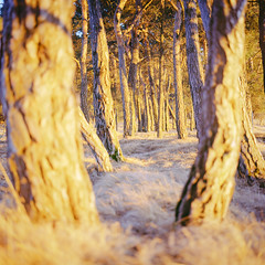 inviting (itawtitaw) Tags: light sunset sun color tree 120 film nature yellow pine analog mediumformat munich square landscape golden evening woods colorful glow bright kodak scan bronica naturereserve epson scrub 80mm ektar c41 v700 fröttmaningerheide sqai ektar100 zenzanonps80mm28