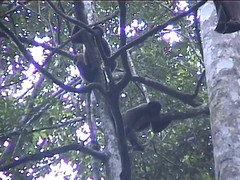 Two Monkeys in the Tree
