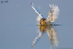 Indian pond heron (Irtiza Bukhari) Tags: show wild bird heron nature beauty canon one action wildlife full catch dslr channel wwf bukhari natgeo wildbird irtiza
