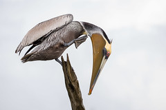 Scratching Post (gseloff) Tags: birds texas pasadena brownpelican mudlake kayakphotography gseloff horsepenbayou