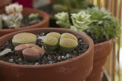 0709 lithops 2 (ingepurl) Tags: plants gardening lithops arrowhead succulents livingstone lithop livingstones pebbleplant