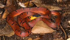Ninia sebae morleyi [Yucatan Redback Coffee Snake (kkchome) Tags: herping herp herpetology reptile snake serpent ninia sebae morleyi yucatn redback coffee america mexico nature wildlife fauna