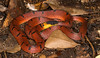 Ninia sebae morleyi [Yucatan Redback Coffee Snake (kkchome) Tags: herping herp herpetology reptile snake serpent ninia sebae morleyi yucatán redback coffee america mexico nature wildlife fauna