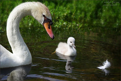 birds of a feather... (evelyng23) Tags: swan birding bird avian nature wildlife chick cygnet muteswan mom cygnusolor feather watch float florida 2016 sigma pentaxk3 aficionados usa swans 150500mm birdsofafeather