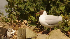 Black headed Gull with Chicks (AlexRobson98) Tags: black nature big gull reserve waters chicks headed