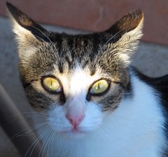 Hypnose (Doonia31) Tags: chat regard yeux oreilles pupille fourrure poils flin animal pelage