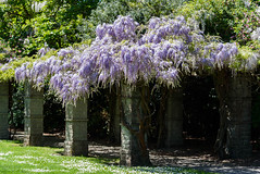 Lime Green and Mauve (Jocey K) Tags: christchurch newzealand flower spring wisteria grass lawn trees shadows daisy