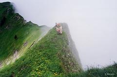 die Steinbcke (welenna) Tags: alpen alps animals switzerland summer schwitzerland swiss berge blume blumen bloom blhen steinbock capricorn nebel natur pilatus mountains mist mountain fog flowers tiere