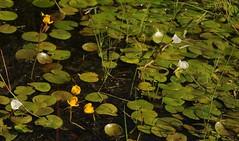 Colsrakmoor - Froschbiss  (Hydrocharis morsus-ranae) und Verkannter Wasserschlauch (Utricularia australis); Meggerdorf, Stapelholm (18) (Chironius) Tags: meggerdorf stapelholm schleswigholstein deutschland germany allemagne alemania germania    ogie pomie szlezwigholsztyn niemcy pomienie moor sumpf marsh peat bog sump bottoms swamp pantano turbera marais tourbire marcageuse blte blossom flower fleur flor fiore blten    asterids lamiids lamiales lippenbltlerartige gelb