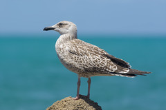 The Proud Mew Gull (billpeppasphotography) Tags: mewgull mew gull seagull seabird sealife bird wing wings standing eye eyes contact sea