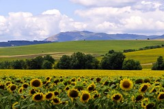 (sevdelinkata) Tags: field landscape outdoor bulgaria sunflower