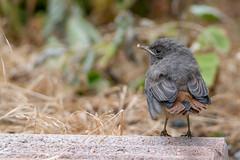 Rougequeue noir (Phoenicurus ochruros) (FREDM69) Tags: nature portraits auvergne oiseaux rhone oisillon hauteloire naturaliste rougequeuenoirphoenicurusochruros