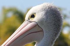 Monday Pelican (Gillian Everett) Tags: pelican pelecanus conspicillatus noosa river 7daysofshooting week4 animalsorbirds macromonday his is 2016 109 116