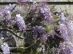 At Mottisfont (Dubris) Tags: england hampshire mottisfont nationaltrust garden wisteria blossom spring