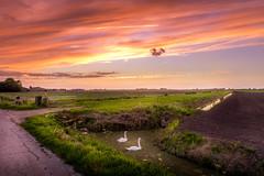 Swans at Sunset (D.ROS) Tags: 2016 blue cloud dark dike field flat grass green light meadow netherlands orange polder road schagen sun sunset yellow cloudsstormssunsetssunrises