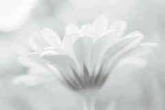 white flower (photalena) Tags: bokeh monochrome flower garden 7dwf