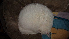 Mystic (universalcatfanatic) Tags: cats mystic white cat green eyes eye lay laying sleep sleeping curled up dog bed brown blue yellow blanket sick ill dying kidney disease acute renal failure chronic tight