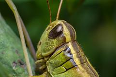 Grasshopper (benevolentkira7) Tags: bug bugs insect insects crawling grass hopper grasshopper long jump jumping far stretch outdoors