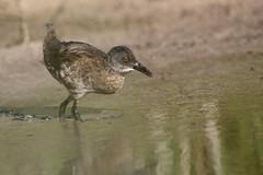 rle d'eau ( Rallus aquaticus ) Erdeven 160811m2 (pap alain) Tags: oiseaux chassiers rallids rledeau rallusaquaticus waterrail erdeven morbihan bretagne france
