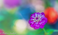 olympic flowers (frederic.gombert) Tags: color colors light sun sunlight zinnia pink green summer spring red blue macro macrodreams nikon d810