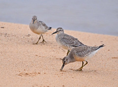 Red Knots- (Juveniles) (Michael Topp) Tags: red knots michael topp miller beach indiana lake county ias birds