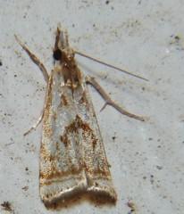 Elegant Grass Veneer (Keith Roragen) Tags: nebraska insect lepidoptera moth crambidae snout grassveneer elegantgrassveneer microcrambus elegans