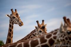 Girafes, zoo de Cerza (Pierre Fauquemberg) Tags: pierrefauquemberg parc zoo parczoologique cerza photographieanimalire nikond750 tamron7020028 tamron70200f28 tamron filtre hoya polarisant hermivallesvaux paysdauge animaux animal animalier faune girafe afrique