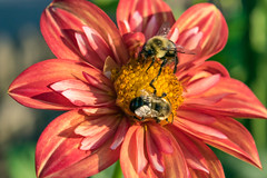 2 bee or not 2 bee... (tquist24) Tags: bonneyvillemillcountypark indiana nikon nikond5300 outdoor bee bees bokeh dahlia flower geotagged insect macro park red summer bristol unitedstates wow
