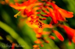 Red Croscosmia (Syd Rahman) Tags: bc canada colonyfarmregionalpark coquitlambc d7000 dslr flowers gardens mertovancouver nikon nikond7000 park parkbc parkcanada red syd sydrahman sydur sydurrahman followme today iso