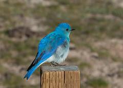 Mountain Bluebird (robertbp94) Tags: uppergeyserbasin yellowstonenationalpark bird mountainbluebird wyoming