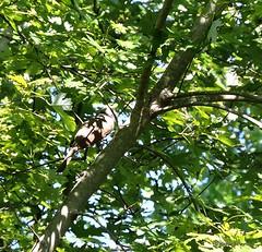 Yellow-billed Cuckoo_N8766 (Henryr10) Tags: ottoarmlederpark hamiltoncountyparkdistrict cincinnati ottoarmledermemorialpark armlederpark littlemiamiriver greatparksofhamiltoncounty yellowbilledcuckoo cuckoo coccyzus coccyzusamericanus avian bird vogel ibon oiseau pasare fågel uccello tékklistar ybcu