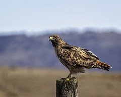 Hawk on Post #27 (lennycarl08) Tags: pointreyesnationalseashore california marincounty hawk redtailedhawk raptor birdofprey