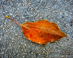 269366  26 September 2016  dry leaf on concrete (Doug Churchill) Tags: 365 366 sonyrx100m3 alone arid cement closeup closeups concrete dead death deaths dry foliage highangleview highangleviews highcontrast leaf leaflet loneliness lonely macro macromondays macros melancholy project project366 sad sadness