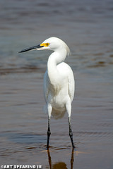Snowy Egret At HBSP (freshairphoto) Tags: snowy wading marsh causeway huntington beach state park myrtle south carolina artspearing nikon d7100 200500 zoom teleconverter trpod