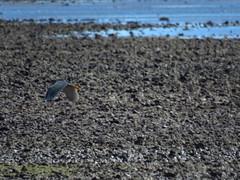 striated heron (mangrove) (bittern), king island, wellington point, mjc-2016-09-22-IMG_3583 (wiccked) Tags: mangroveheron bittern butoridesstriata mangrovebittern wellingtonpoint kingisland lowtidecauseway