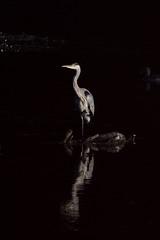 _F0A8179_1.jpg (Kico Lopez) Tags: ardeacinerea galicia garzareal lugo mio spain aves birds rio mio