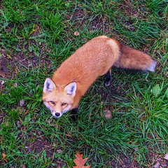 Hi There! (wordsmith_Cornwall) Tags: fox montebelloquebec omegapark parcomega redfox