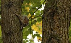 _MG_0800a.jpg (skyestorme) Tags: squirel hawkbatch bewdley wildlife squirrel