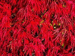Autumn Colours (niloc's pic's) Tags: acerpalmatum acer japanesemaple garnet red tree leaves bexhillonsea eastsussex panasonic lumix dmcgx7