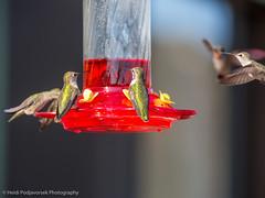 US_CA_Malibu_26478_2016-October-16_155935_HeidiPodjavorsek.jpg (Heidi M Podjavorsek) Tags: california usa northamerica nature bird losangeles season location malibu malibulagoon fauna annashummingbird hummingbird