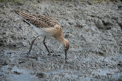 Ruff feeding (Andrew_Leggett) Tags: philomachuspugnax ruff wader feeding mud shore bird autumn plumage detail delicate rspboldmoor andrewleggett